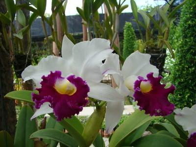 nong-nuch-orhidea-foto-1
